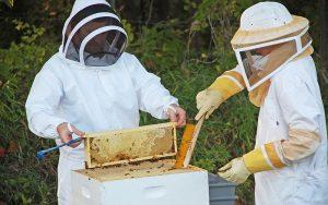 récolte miel ruche